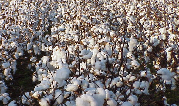 indian-cotton-cultivation